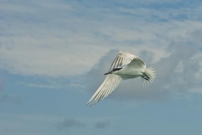 A Tern Flies in the Gracias a Dios Province, Honduras-Cristina Mittermeier-Photographic Print
