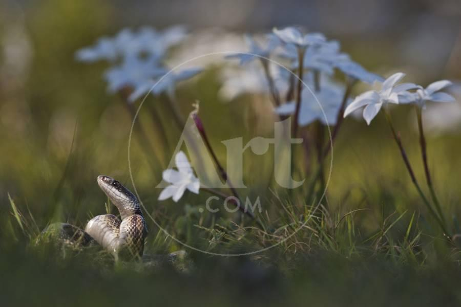 A Texas Rat Snake Raises its Head in the Grass Next to Some Evening Rain  Lily Flowers Photographic Print by Karine Aigner | Art com
