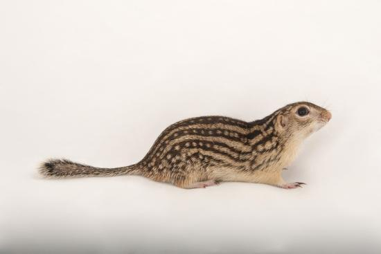 A Thirteen-Lined Ground Squirrel, Ictidomys Tridecemlineatus, at the Milford Nature Center-Joel Sartore-Photographic Print