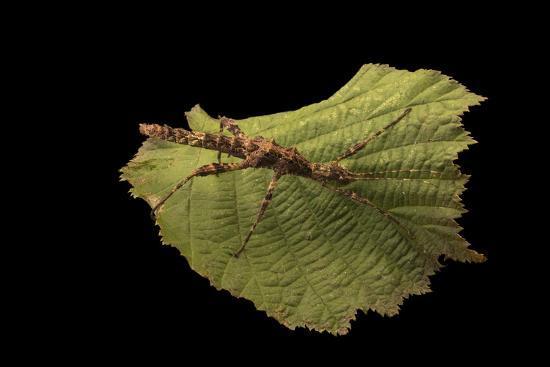 A thorny walking stick, Trachyaretaon brueckneri, at the Exmoor Zoo.-Joel Sartore-Photographic Print