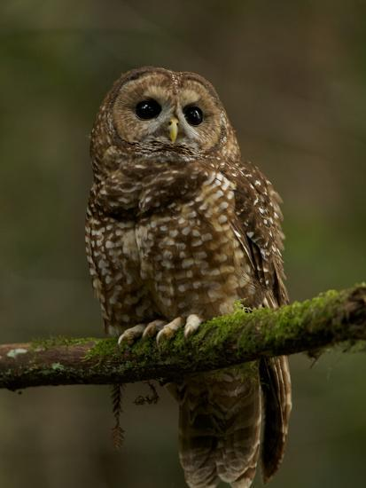 A Threatened Northern Spotted Owl in a Redwood Forest-Michael Nichols-Photographic Print