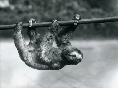 A Three-Toed Sloth Slowly Makes its Way Along a Pole at London Zoo, C.1913-Frederick William Bond-Photographic Print