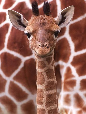 A Three Week Old Baby Giraffe at Whipsnade Wild Animal Park Pictured in Front of Its Mother--Photographic Print