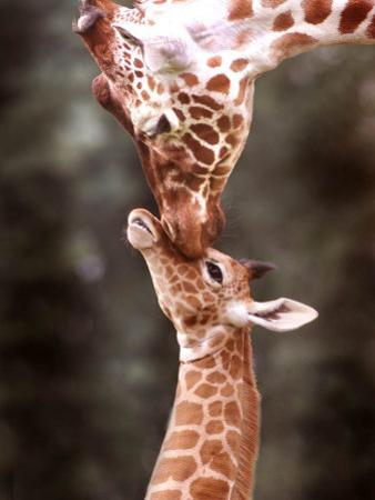 A Three Week Old Baby Giraffe with Its Mother at Whipsnade Zoo
