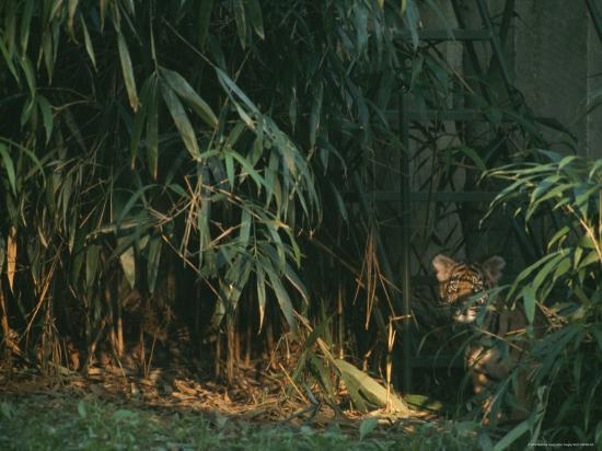 A Tiger Cub Looks Shyly Out from Behind a Screen of Bamboo-Taylor S^ Kennedy-Photographic Print