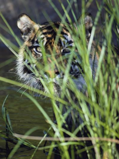 A Tiger Peers out from Behind a Bunch of Grass-Jason Edwards-Photographic Print