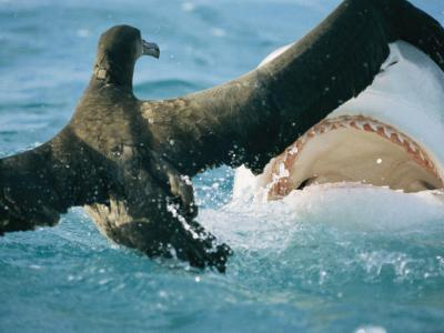 A Tiger Shark Feeds on a Young Albatross-Bill Curtsinger-Photographic Print