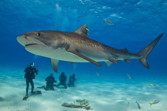 A Tiger Shark Swimming At The Sea Floor Near A Group Of Divers