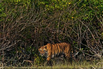 A Tiger Walks Among the Mangroves in India's Sundarbans Region-Steve Winter-Photographic Print