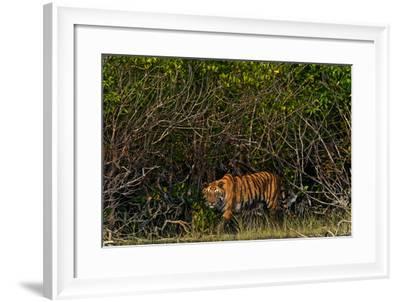 A Tiger Walks Among the Mangroves in India's Sundarbans Region-Steve Winter-Framed Photographic Print