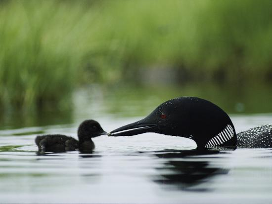 A Tiny Loon Chick Being Fed by its Parent-Michael S^ Quinton-Photographic Print