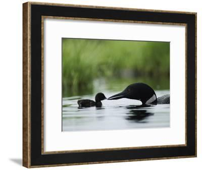 A Tiny Loon Chick Being Fed by its Parent-Michael S^ Quinton-Framed Photographic Print