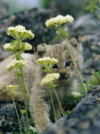 A Tiny Lynx Cub Peeks out Through a Clump of Wildflowers-Norbert Rosing-Photographic Print