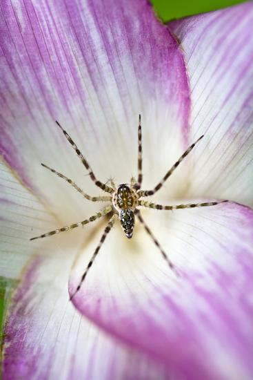 A Tiny Spider Inside Bright Pink Petals Waits to Ambush Prey Attracted to the Flower-Jason Edwards-Photographic Print