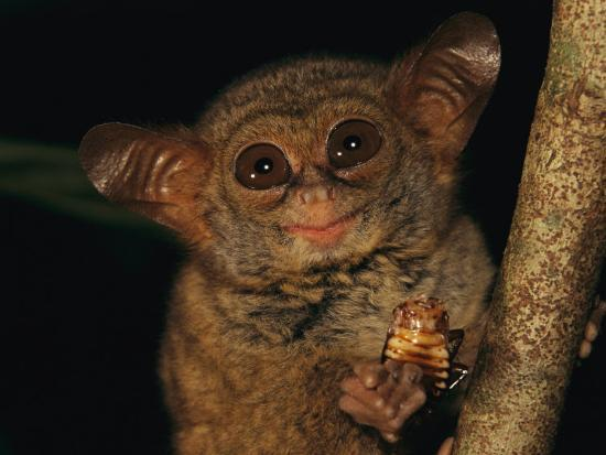 A Tiny Wide-Eyed Tarsier (Tarsius Spectrum) Relishes a Cockroach Snack-Tim Laman-Photographic Print