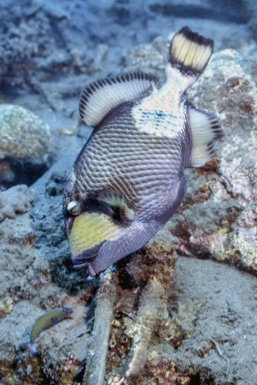 A Titan Triggerfish Faces Off with a Small Wrasse, Papua New Guinea-Stocktrek Images-Photographic Print