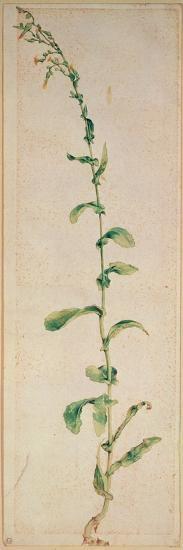 A Tobacco Plant-Albrecht D?rer-Premium Giclee Print