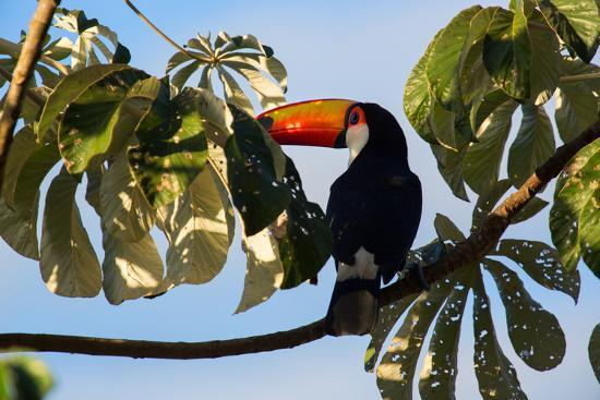 A Toco Toucan in a Tree Near Iguazu Falls at Sunset-Alex Saberi-Photographic Print