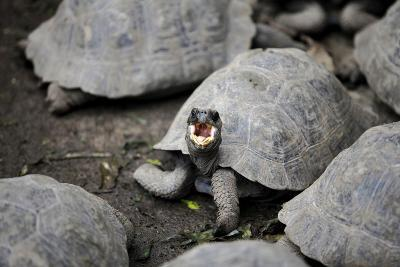 A Tortoise Showing Its Personality-Jill Schneider-Photographic Print