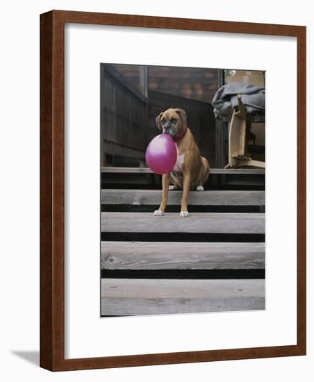 A Tough Looking Bulldog Delicately Holds a Balloon in Morro Bay-Marc Moritsch-Framed Photographic Print