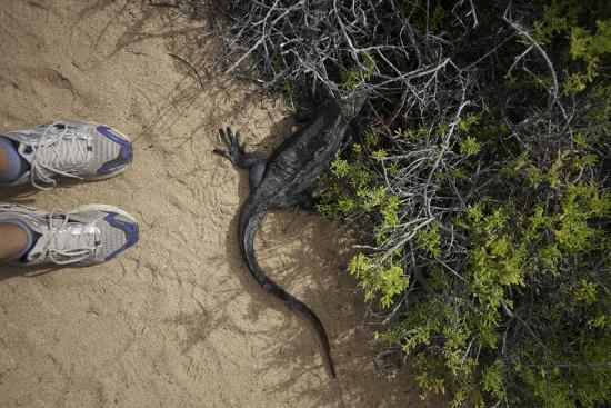 A Tourist Observes a Galapagos Land Iguana on a Trail-Jad Davenport-Photographic Print