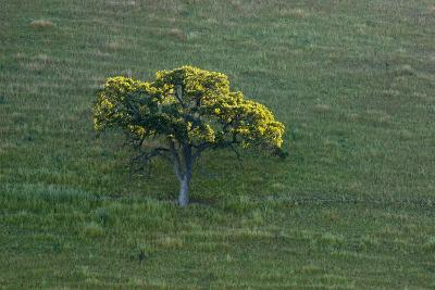 A Tree in the Grassy Hills of Mount Diablo State Park-Paul Colangelo-Photographic Print