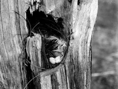 A Tree Swallow's Nest-George Shiras-Photographic Print