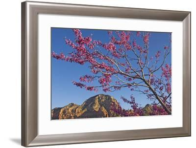 A Tree with Pink Blossoms in Red Rock Country-Design Pics Inc-Framed Photographic Print