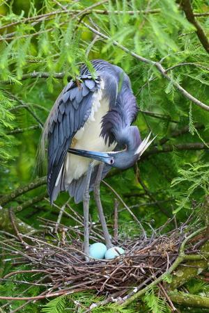 https://imgc.artprintimages.com/img/print/a-tricolored-heron-egretta-tricolor-in-its-nest_u-l-q1bj4xg0.jpg?p=0