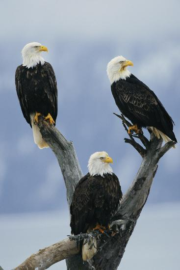 A Trio of American Bald Eagles Perched in an Old Tree Snag-Klaus Nigge-Photographic Print
