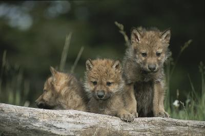 A Trio of Captive Wolf Pups  Stand Behind a Fallen Tree Trunk-Tom Murphy-Photographic Print