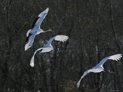 A Trio of Japanese or Red-Crowned Cranes Coming in for a Landing-Tim Laman-Photographic Print
