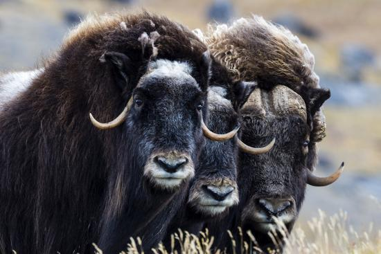 A Trio of Musk Ox Gather Together in Defensive Position on the Tundra Displaying their Horns-Jason Edwards-Photographic Print