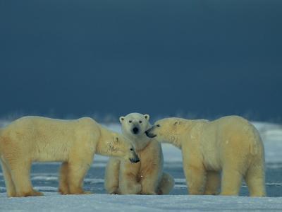 A Trio of Polar Bears (Ursus Maritimus) Playing-Norbert Rosing-Photographic Print