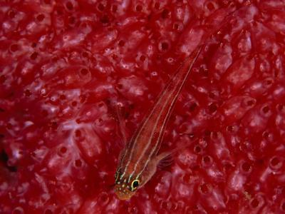 A triplefin fish on tunicates-David Doubilet-Photographic Print
