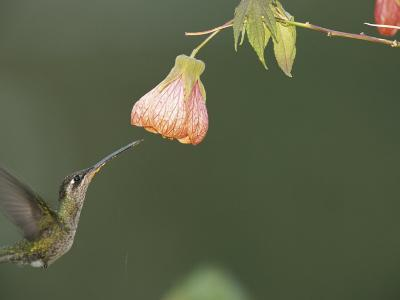 A Tropical Hummingbird Feeds on a Flower-Roy Toft-Photographic Print