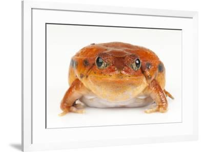 A True tomato frog, Dyschophus antongili, at the Omaha's Henry Doorly Zoo.-Joel Sartore-Framed Photographic Print
