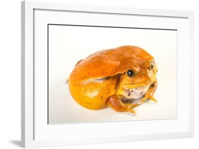 A True Tomato Frog, Dyscophus Antongilii, from the Lincoln Children's Zoo.-Joel Sartore-Framed Photographic Print