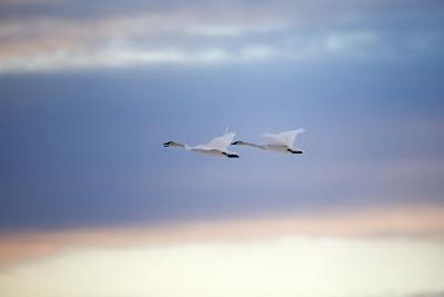 A Trumpeter Swan, Cygnus Buccinator, Calls Out While Flying with its Partner-Robbie George-Photographic Print