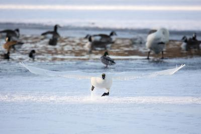 A Trumpeter Swan, Cygnus Buccinator, Takes Off at a Run to Ascend into Flight-Robbie George-Photographic Print