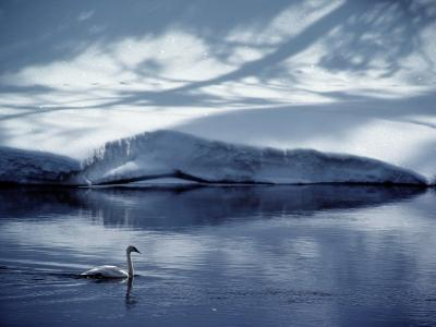 A Trumpeter Swan Glides Across the River-James P^ Blair-Photographic Print
