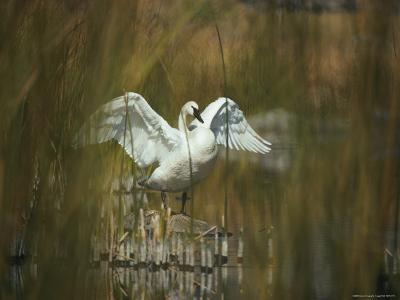 A Trumpeter Swan Stands on a Rock Flexing His Wings-Michael S^ Quinton-Photographic Print