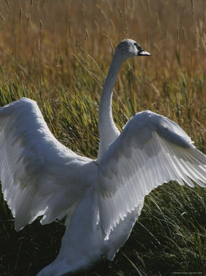 A Trumpeter Swan Stretches His Wings Amid a Field of Tall Grasses-Michael Melford-Photographic Print