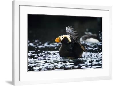A Tufted Puffin Shaking Water Off His Wings after Landing-Sheila Haddad-Framed Photographic Print