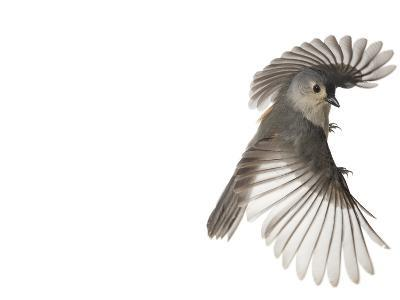A tufted titmouse, from a deciduous forest, in flight.-David Liittschwager-Photographic Print