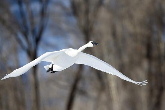 A Tundra Swan, Cygnus Columbianus, Glides Past a Wooded River Bank-Robbie George-Photographic Print