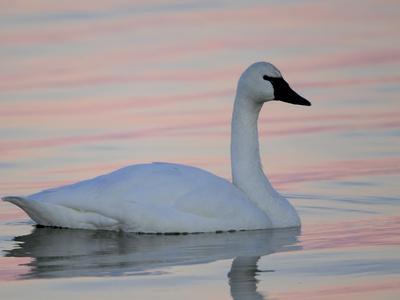 https://imgc.artprintimages.com/img/print/a-tundra-swan-cygnus-columbianus-in-a-lake-at-sunset_u-l-pftcn30.jpg?p=0