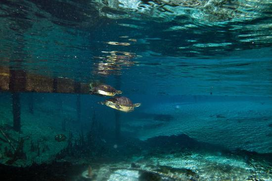 A Turtle Swimming after a Mate in Clear Blue Water-Joshua Howard-Photographic Print
