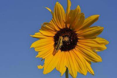 A Two-Striped Grasshopper on a Plains Sunflower-Michael Forsberg-Photographic Print