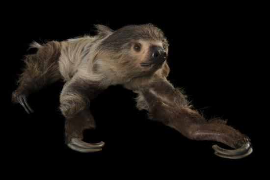 A Two-Toed Sloth, Choloepus Didactylus, at the Lincoln Children's Zoo-Joel Sartore-Photographic Print